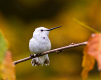 White Hummingbird (Ruby Throated) perched