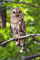 Barred Owl perched on one foot.