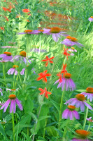 Coneflowers and Catchfly