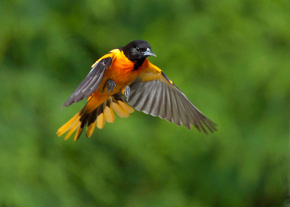 Oriole flying